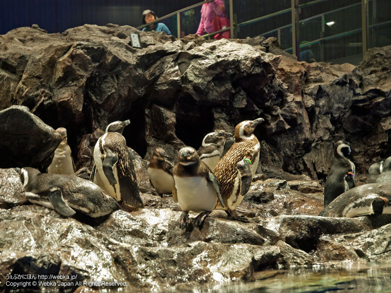 すみだ水族館 館内~ペンギン~